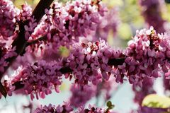 Closeup of many pink Cercis flowers. Flowers in bloom on a red-brown branch in spring stock images