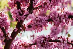 Closeup of many pink Cercis flowers. Flowers in bloom on a red-brown branch in spring stock image