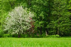 Lush flowering tree Apple trees in the spring meadow.  royalty free stock photos
