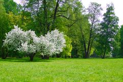 Lush flowering tree Apple trees in the spring meadow.  royalty free stock photo