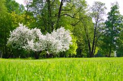 Lush flowering tree Apple trees in the spring meadow.  stock image