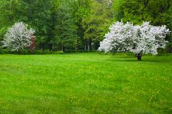 Lush flowering tree Apple trees in the spring meadow.  royalty free stock photography