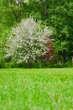 Lush flowering tree Apple trees in the spring meadow.  royalty free stock image