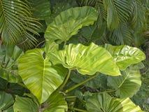 Lush foliage. Lush vegetation in rain forest Stock Images