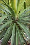 Lush foliage of the bottle tree. Lush foliage adorns the bottle tree Stock Images
