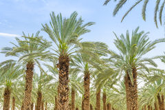 Lush foliage of figs date palm trees on cultivated oasis. In Jordan valley desert against blue sky Stock Images