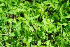 Lush foliage of green tomato seedling Stock Photo