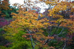 Lush foliage of Japanese maple tree during autumn in a garden in Kyoto, Japan Stock Photos