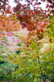 Lush foliage of Japanese maple tree during autumn in a garden in Kyoto, Japan Royalty Free Stock Images