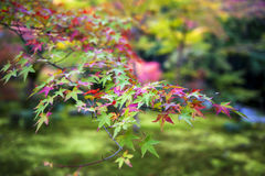 Lush foliage of Japanese maple tree during autumn in a garden in Kyoto, Japan Stock Photo