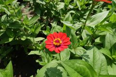 Lush foliage and red flower of zinnia elegans stock photo
