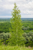 Lush foliage of summer birch Royalty Free Stock Photo