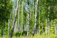 Lush foliage of summer birch Royalty Free Stock Photography
