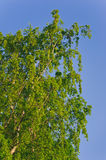 Lush foliage of summer birch. Nature backgrounds Stock Photo