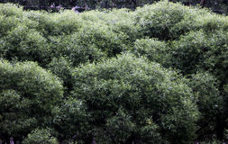Lush foliage of the trees stock image