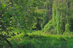 Lush Forest. With green vegetables and trees Royalty Free Stock Photos