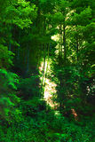 Lush forest. Of tall, green trees stock images