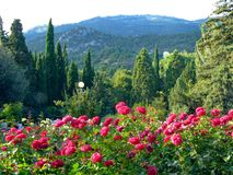 Lush fragrant rose bushes lurking near the steep slopes of the mountains. For your design Stock Photo