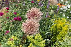 Lush garden with allium and Field Scabiou Royalty Free Stock Images