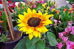 Bright Sunflower in Lush Colourful Garden. A lush garden with multi-coloured flowers, including a large bright sunflower with developing seeds pointing towards Royalty Free Stock Image