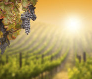 Lush Grape Vine with Blurry Vineyard Background Royalty Free Stock Image