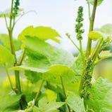 Lush Grape Vineyard Stock Image