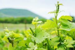 Lush Grape Vineyard in the field. Landscape. Stock Image