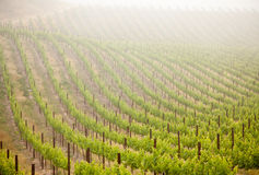 Lush Grape Vineyard in The Morning Sun and Mist Stock Photography