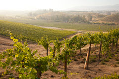 Lush Grape Vineyard in The Morning Sun and Mist Royalty Free Stock Photography