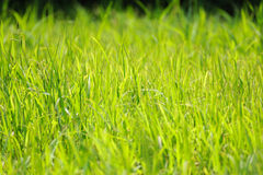 Lush grass background Stock Images