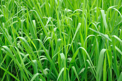 Lush grass background Royalty Free Stock Photos