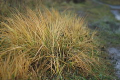 Lush grass bush, which is partly yellowed. stock photos