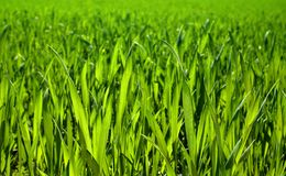 Lush grass closeup Royalty Free Stock Images