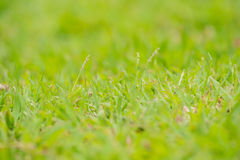Lush grass and flowers Clear. Lush grass and flowers Clear at morning time  in soft light Stock Photos
