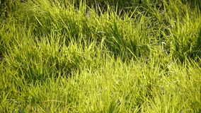 Lush grass in the sun. stock footage