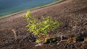 Lush green black locust tree growing through concrete slabs. With sea shore on background stock footage