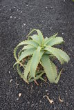 Lush Green Cactus Stock Image