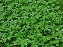 Lush green carpet of clover Royalty Free Stock Images