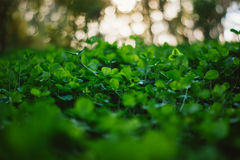 Lush green carpet of clover close up Stock Photography