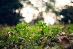 Lush green carpet of clover close up. Lush green carpet of clover bokeh of lush foliage macro view stock image