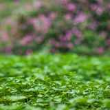 Lush green carpet of clover close up Stock Image