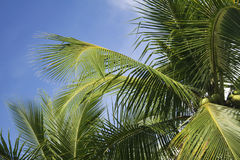 lush green coconut palm tree fronds Stock Images