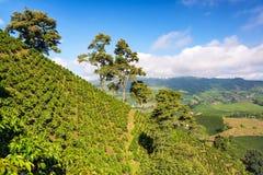 Green Coffee Landscape stock photo