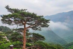 Lush Green coniferous Forest in Seoraksan National Park, South Korea Stock Images
