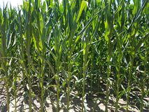Lush green corn in the fields royalty free stock photos