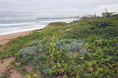 Lush Green Dune Vegetation on  Beach against City Skyline Stock Photo