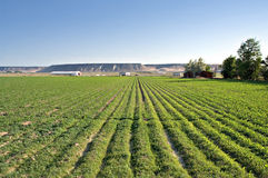 Lush green farmland. A cornfield at a lush, fertile farm in Idaho royalty free stock photography