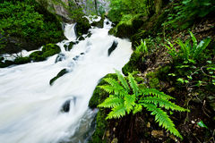 Lush green fern by the stony cascading stream Stock Images