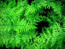 Lush Green Ferns Stock Photography