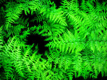 Lush Green Ferns Royalty Free Stock Images